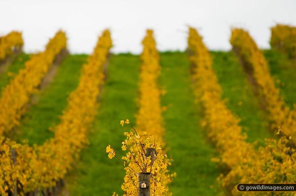 Autumn grape vines