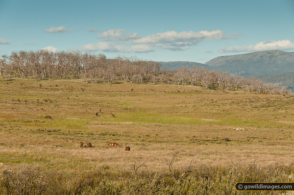 Wild brumbies near Tantangara reservoir