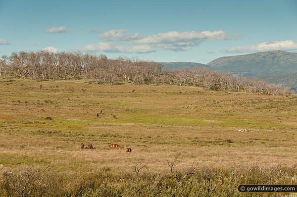 Wild brumbies near Tantangara reservoir