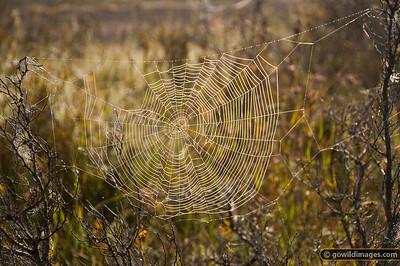 Early morning dew on cobweb, Tantangara reservoir
