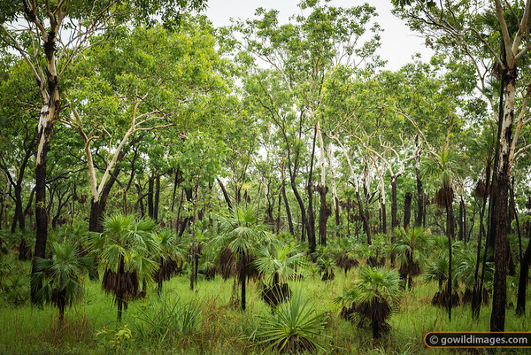 Tropical forrest, Litchfield NP, NT