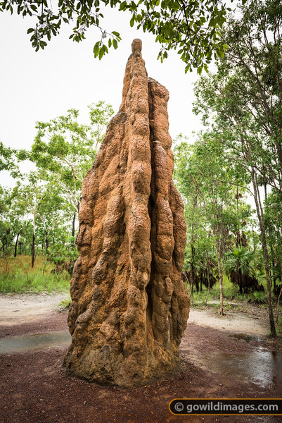Cathedral termite mound, Litchfield NP, NT. This nest is thought to be over 50 years old and stands around 4 metres tall.