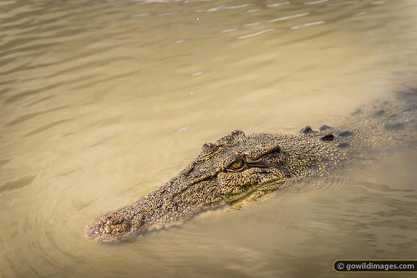 Croc, Adelaide River, NT