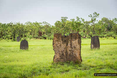 Magnetic termite mounds, Litchfield NP, NT. These ants align their narrow nest North-South to minimise the heat of the midday sun.