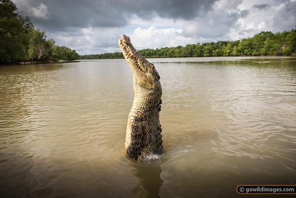 Jumping crocs, Adelaide River, NT