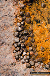Sea snails, near Miller's Landing, northern Wilson's Prom