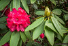 Rhododendron Altaclarense