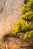 Mimosaceae Wallowa