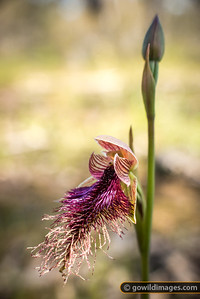 Purple Beard Orchid