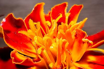 Marigolden