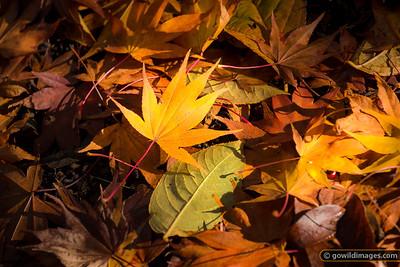 Osakazuki Japanese Maple leaf, Pirianda Garden, Dandenongs