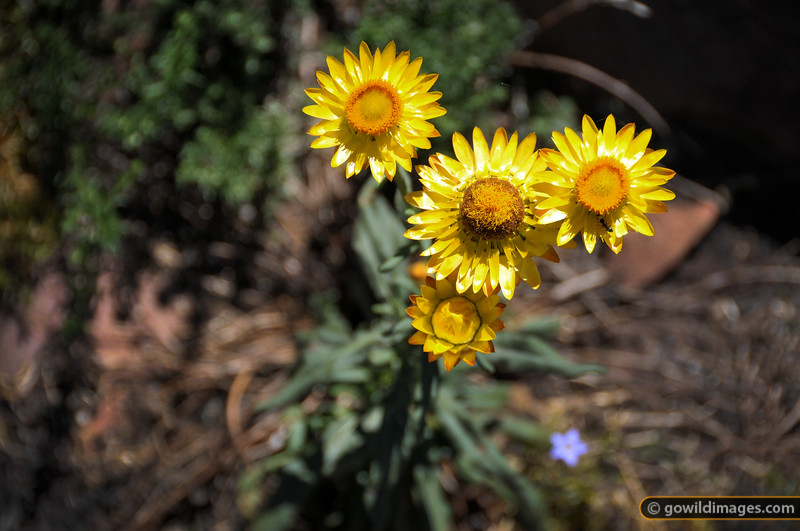 Mexican daisies (Everlastings), Cathedral ranges