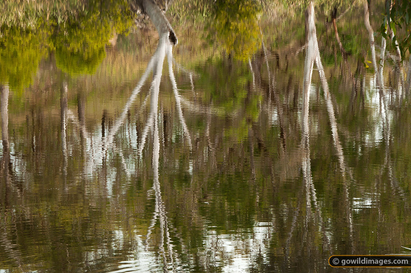 Reflections of gum trees in a billabong