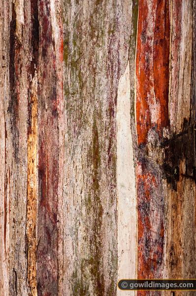 Snow gum bark detail