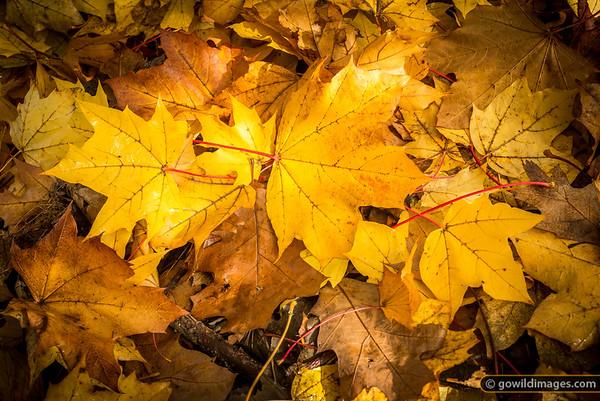 Norway Maple leaves, Pirianda Garden, Dandenongs