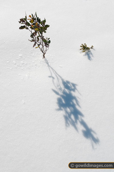 Young snow gum