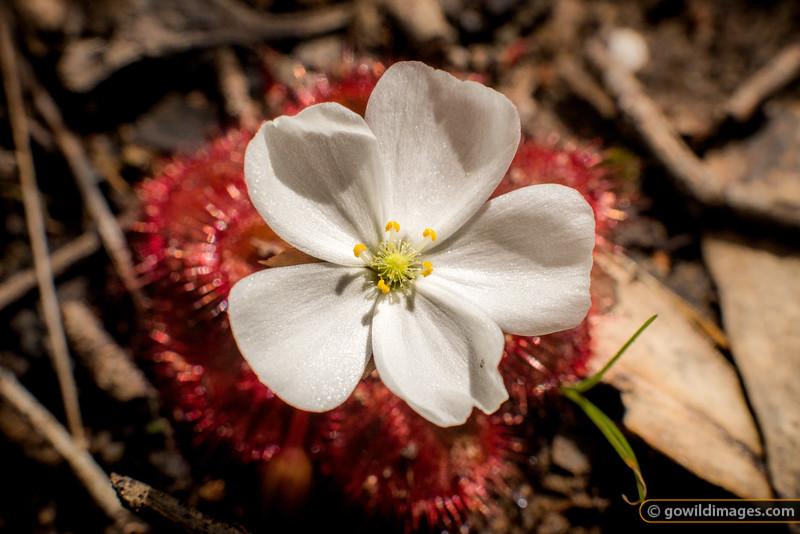 Sundew Bloom