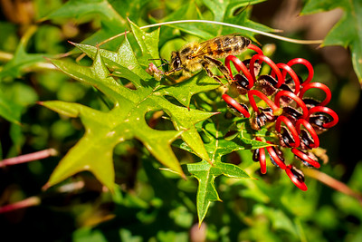 Mt Cole Grevillea Bee