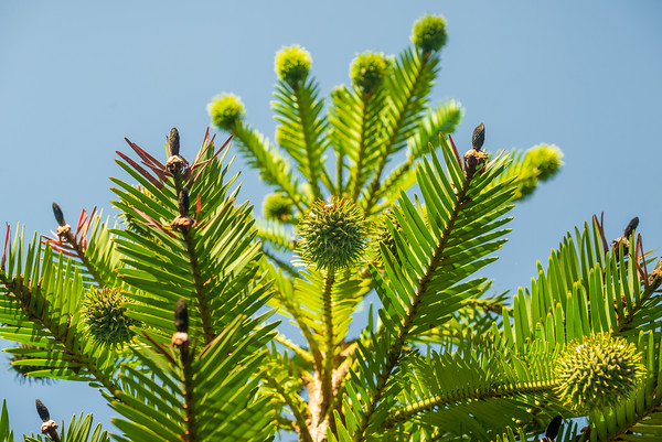 Wollemi Pine Textures