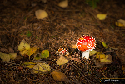 Fly Agaric under a Golden Norway Spruce, Pirianda Garden, Dandenongs