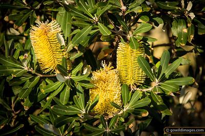 Coast Banksia, Banksia Intergrifolia