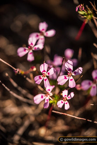 Lesueur Wildflowers