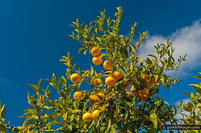 Valencia oranges in the mallee/riverina area of NW Victoria, near Mildura. Other angles available.