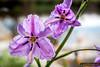 Fringe-lily