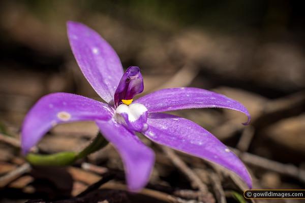 Waxlip Orchid