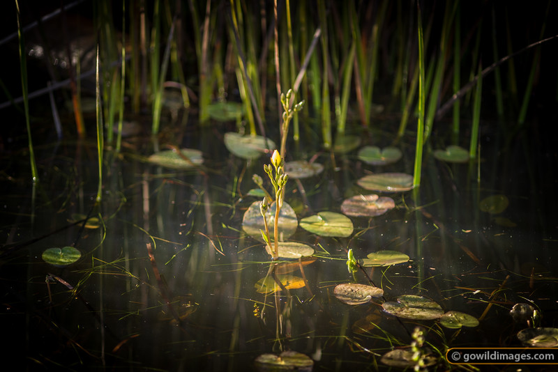Water lily flower, Surry River, Cobboboonee NP