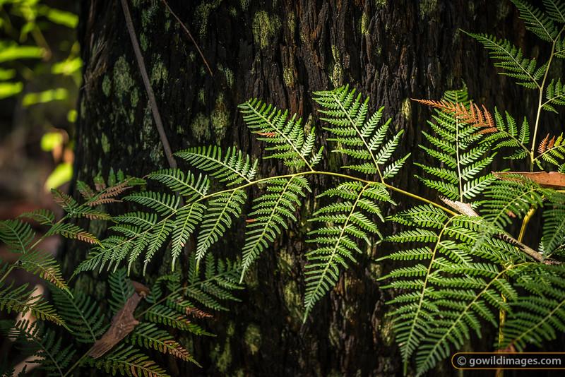 Bracken fern on  Lavers Circuit walk, Jehosaphat Gully, Kinglake NP