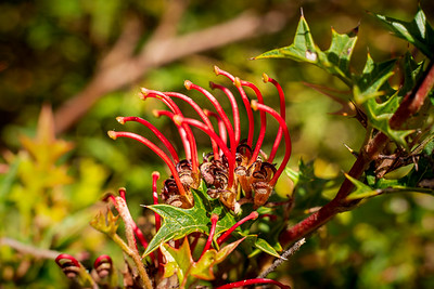 Mt Cole Grevillea Detail
