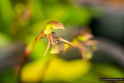 Common Ant Orchid