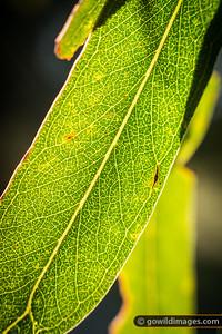 Gum leaf