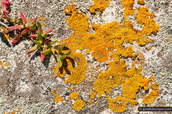 Pigface and lichen, northern Wilson's Prom