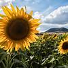 Late Summer Sunflowers