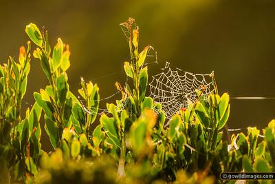 Cobweb Dewdrops