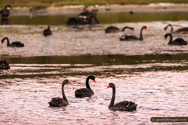 Yambuk Swans