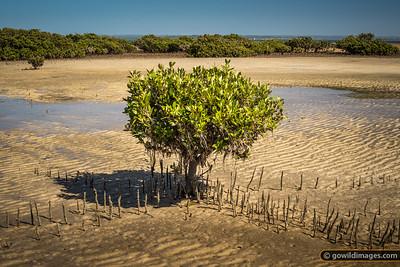 Lone mangrove, French Island NP