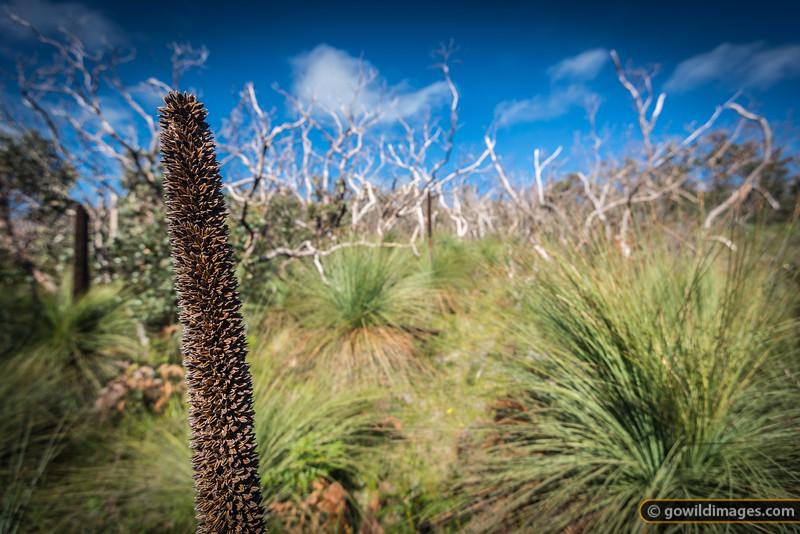 Australian Grass Tree, Mt Richmond NP