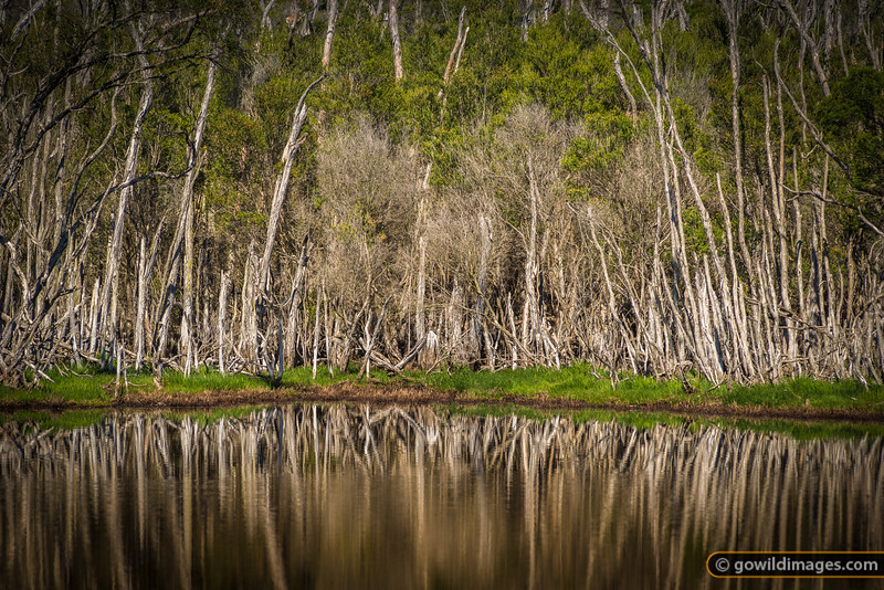 Swamp Paperbark trees at Balfours Swamp, The Lakes NP