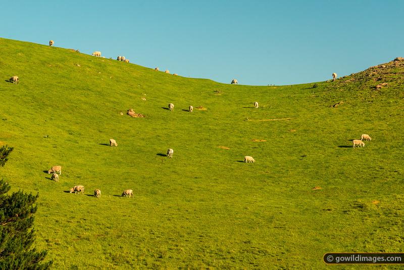 Sheep Fodder