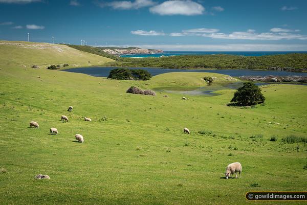 Sheep grazing alongside Bridgewater Lakes and Discovery Bay Coastal Park