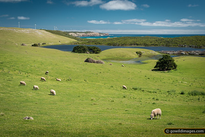 Sheep grazing alongside Bridgewater Lakes and Discovery Bay Coastal Park