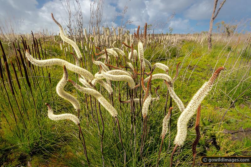 Australian Grass Trees in flower