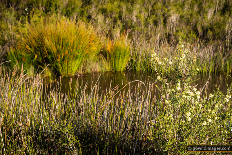 Spring flowers in the heathland, Surry River, Cobboboonee NP
