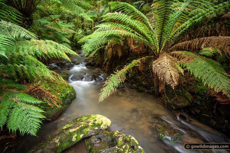 Giant tree ferns, Tarra River, Tarra Bulga NP