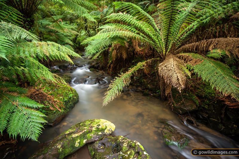 Giant tree ferns, Tarra River, Tarra Bulga NP