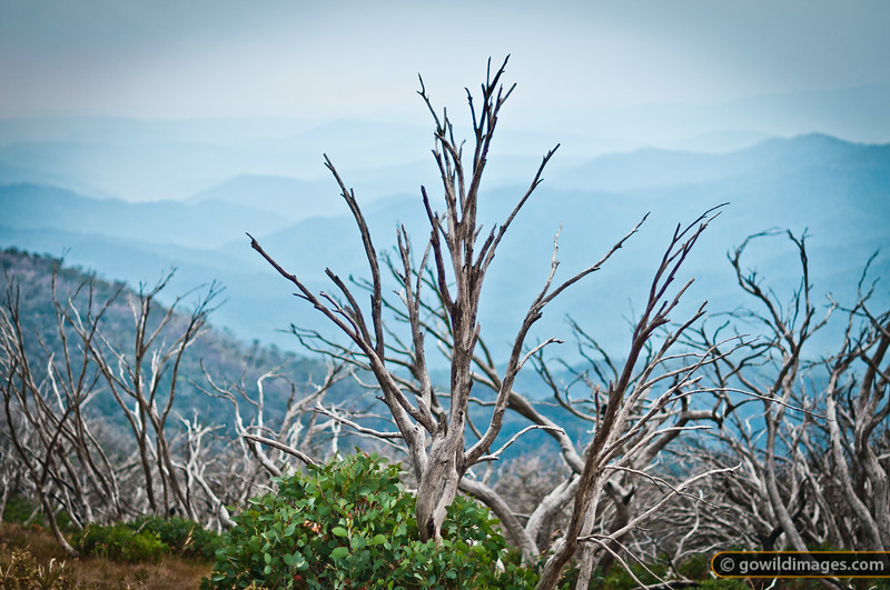 Snow gums still recovering from 2003 bushfires, with smoke haze from a current bushfire beyond