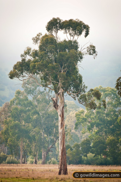Lone River Red gum in a cattle grazing area on the banks of the Yea River near Killingworth.
